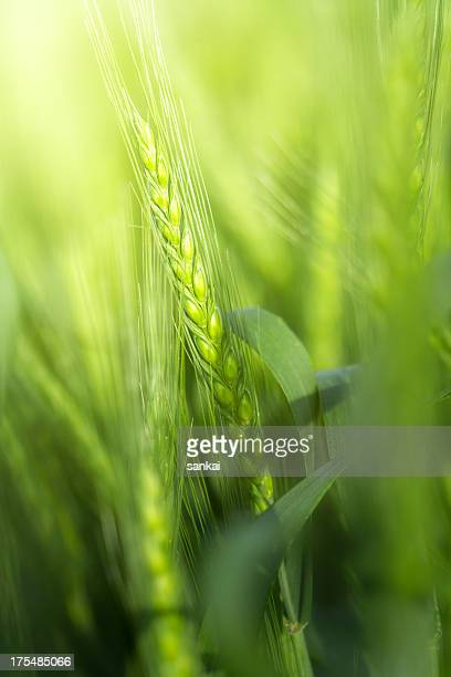 Green wheat stem in the morning