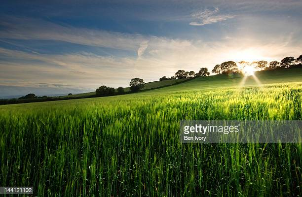 green wheatfield at golden hour - golden hour stock pictures, royalty-free photos & images