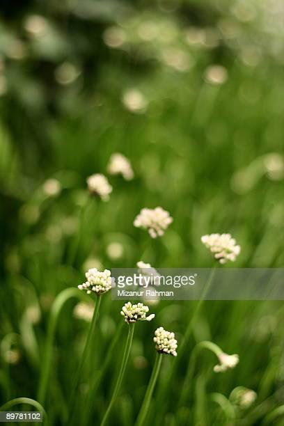 green white flowers. - mizanur rahman stock pictures, royalty-free photos & images