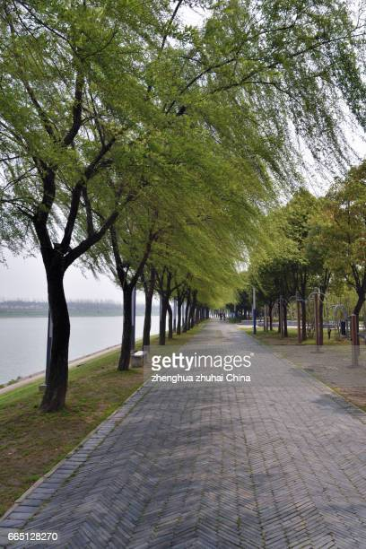 green willow tree beside han river, wuhan china - wuhan photos et images de collection