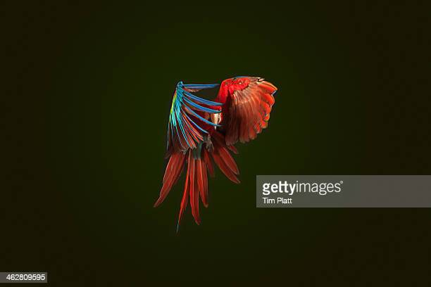 a green winged macaw in mid flight. - tropical bird stock pictures, royalty-free photos & images