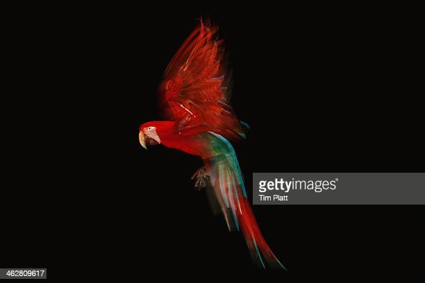 green winged macaw parrot in flight - bright colour stock pictures, royalty-free photos & images