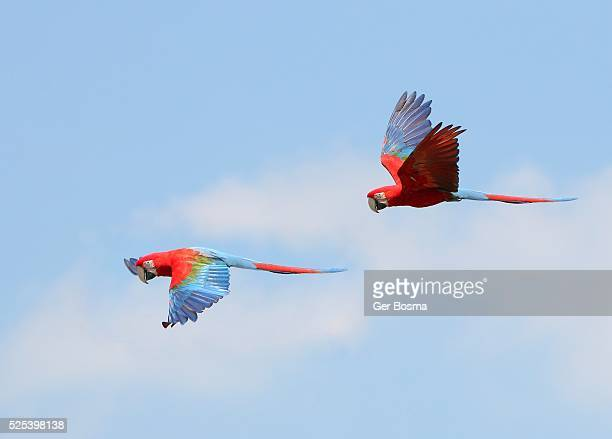 Green Winged Macaws in Flight