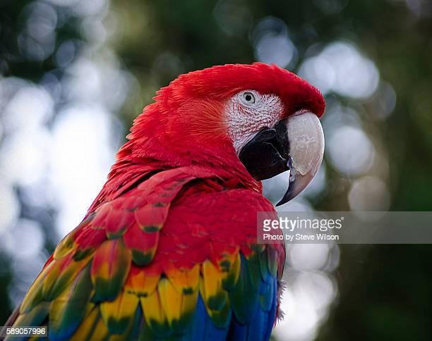 green winged scarlet macaw hybrid - loro fotografías e imágenes de stock