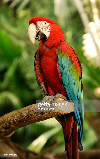 green wings macaw
