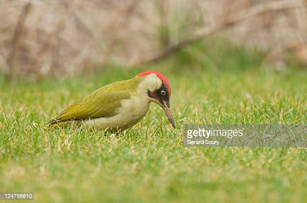 Green Woodpecker (Picus viridis) male is looking for its food on the ground, Ile de France, France