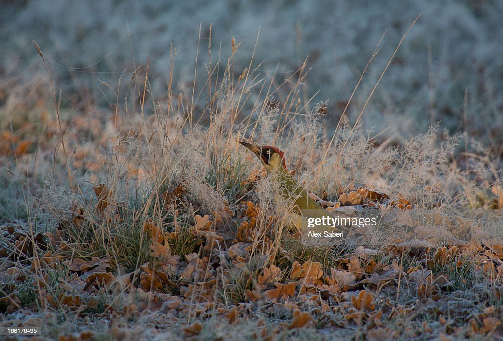 A green woodpecker, Picus viridian, hiding in the grass. : Stock Photo