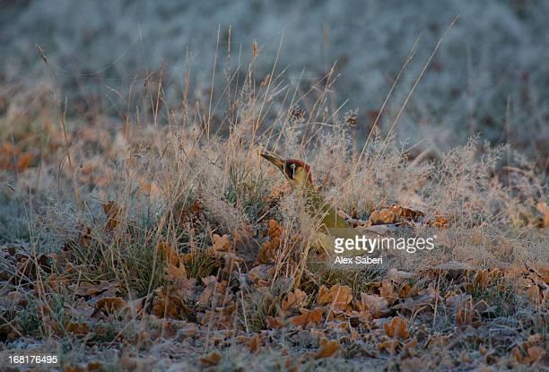 a green woodpecker, picus viridian, hiding in the grass. - alex saberi imagens e fotografias de stock