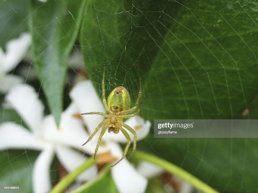 Green, yellow, red spider making web on jasmine flowers : Stock Photo