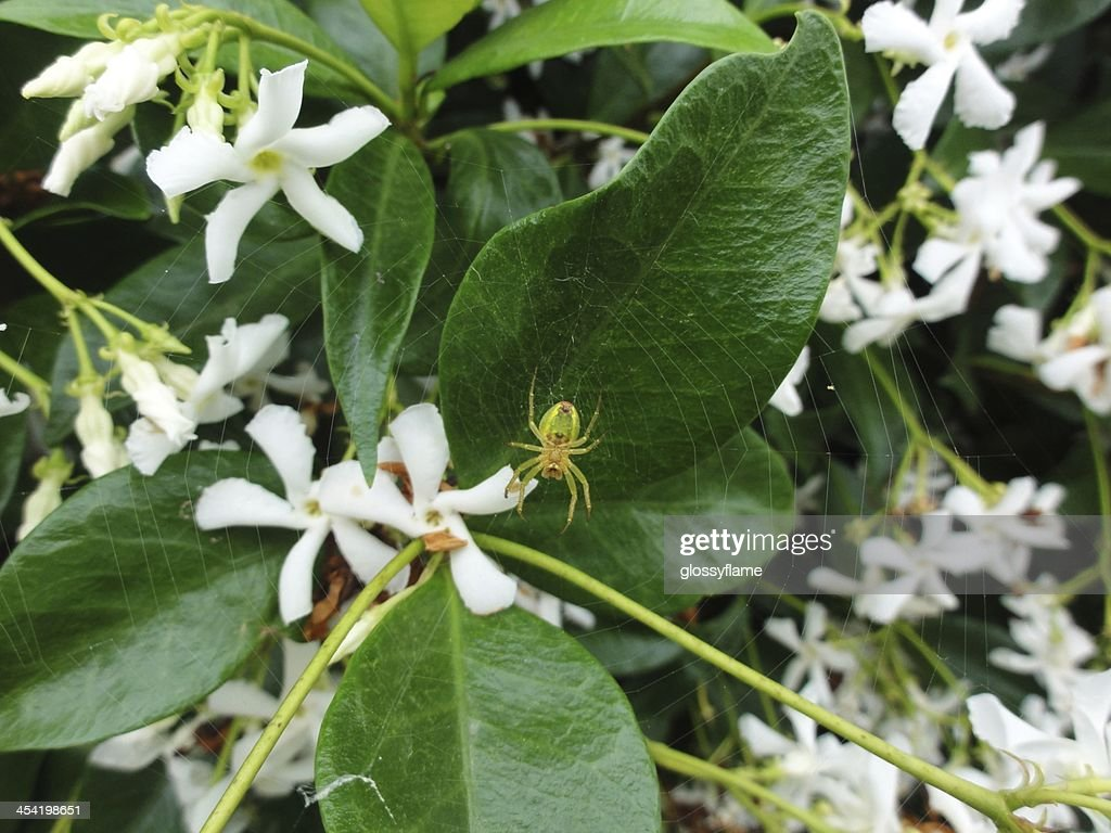 Green, yellow, red spider making web on jasmine flowers : Stock Photo