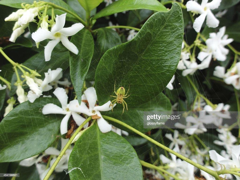 Verde, amarillo, rojo spider la web en jasmine flores : Foto de stock