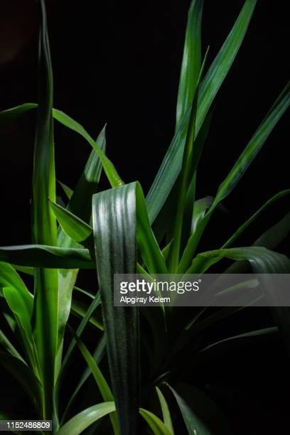 green yucca front of the black background - tropical bush stock pictures, royalty-free photos & images