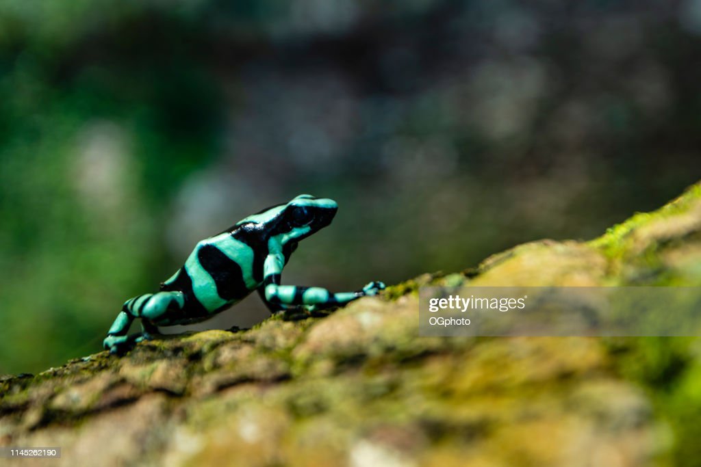 Green-and-black poison dart frog : Stock Photo
