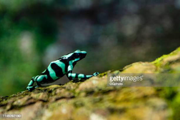 green-and-black poison dart frog - ogphoto stock photos and pictures