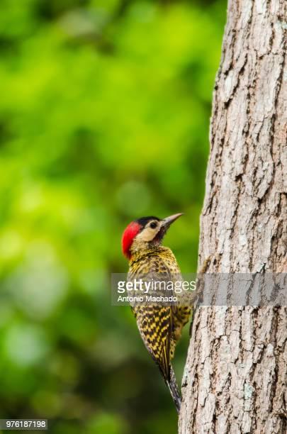 Green-barred woodpecker (Colaptes melanochloros) on tree, Goiania, Brazil
