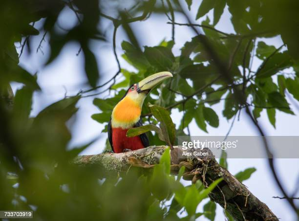 a green-billed toucan, ramphastos dicolorus, or red-breasted toucan perches in a tree. - alex saberi stock pictures, royalty-free photos & images