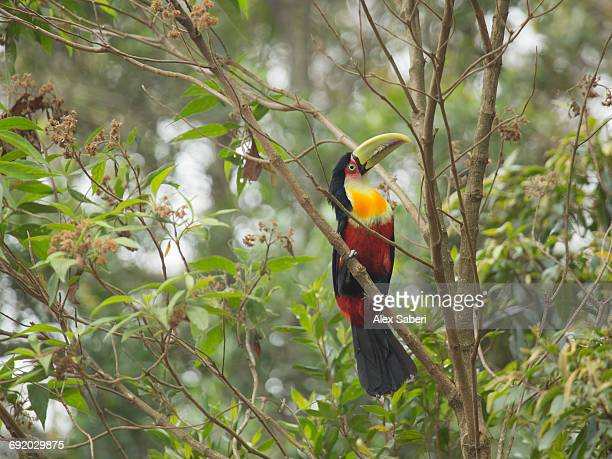 a green-billed toucan, ramphastos dicolorus, perching on a tree branch in sao paulo state, brazil. - alex saberi stock pictures, royalty-free photos & images