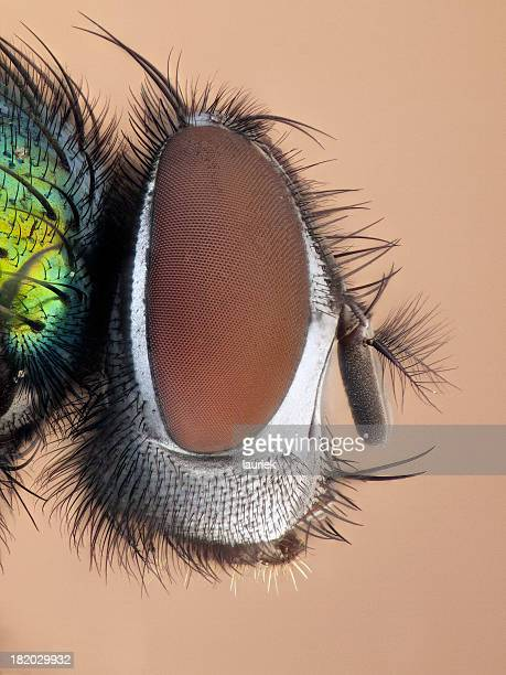 greenbottle - bug eyes stock photos and pictures