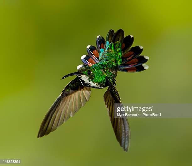Green-breasted Mango_