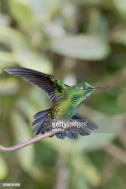 GreenCrowned Brillant Hummingbird Costa Rica