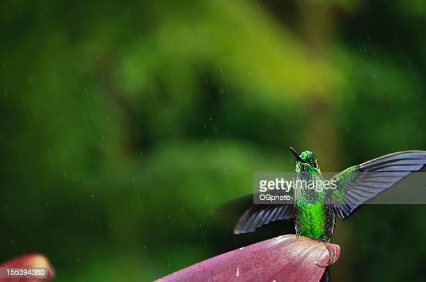 Green-crowned Brilliant Hummingbird in the rain