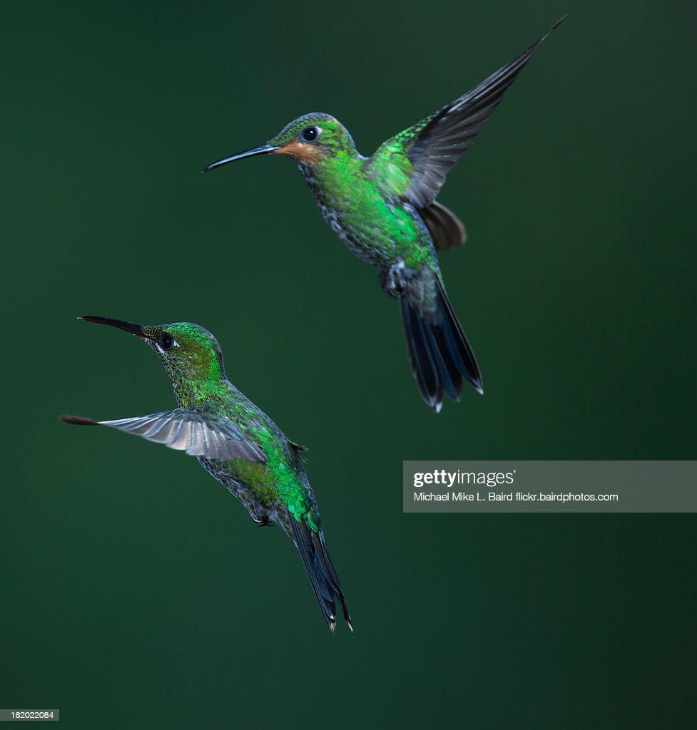 Green-crowned Brilliant Hummingbird : Stock-Foto