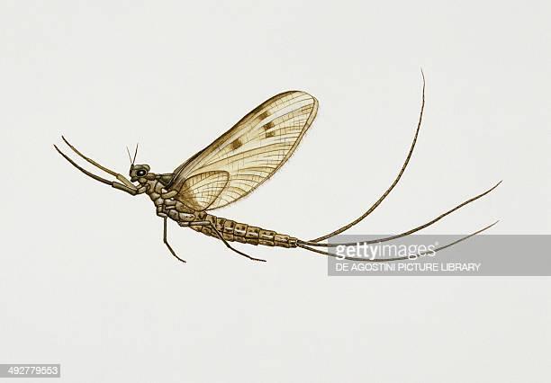 Greendrake mayfly Ephemeridae Artwork by Rebecca Hardy