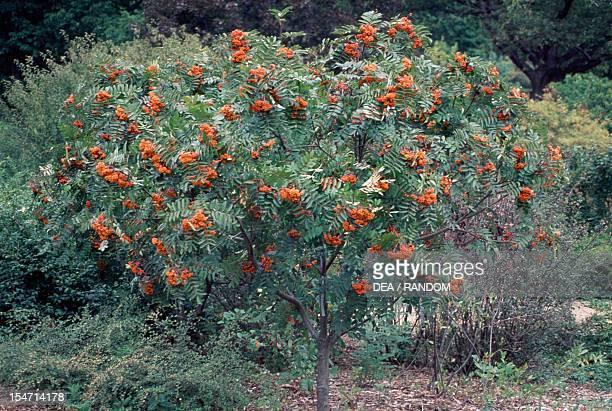 Greene Mountainash Rowan Rosaceae