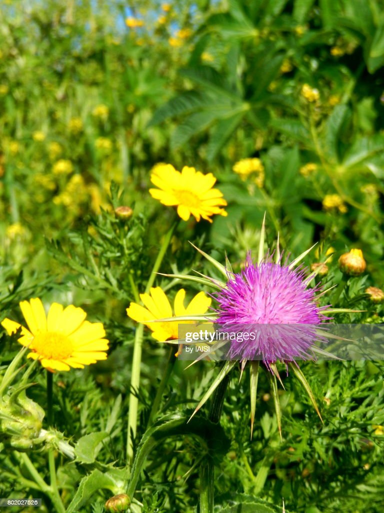Greenery A Purple Thistle And Yellow Crown Daisies In The Prairie