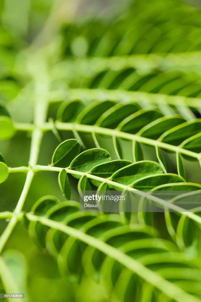 Greenery Chinese Acacia Leaves Close Up Stock Photo Getty Images