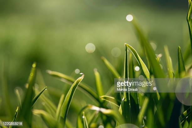 greenery dew and green grass - hierba familia de la hierba fotografías e imágenes de stock