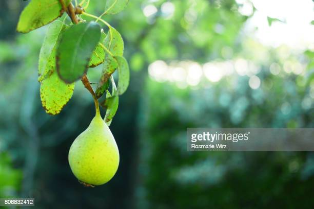 Greenery - green pear hanging on branch