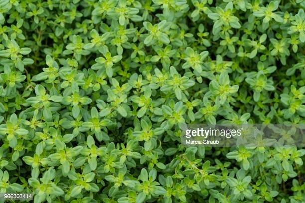 greenery herbs - thyme stock pictures, royalty-free photos & images