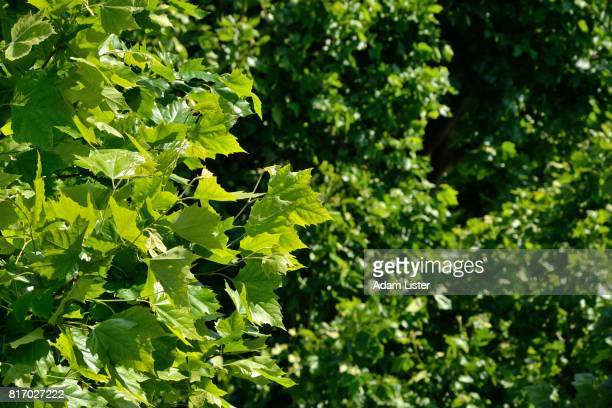 greenery of the tree tops - treetop stock photos and pictures