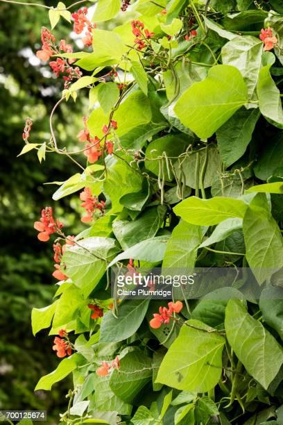 Greenery - Runner beans