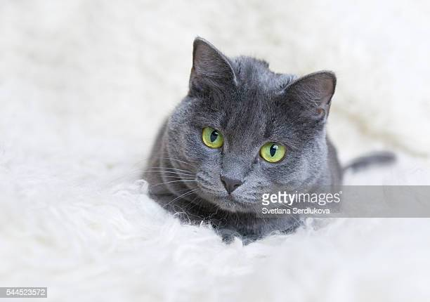 green-eyed russian blue cat looking at camera - russian blue cat stock pictures, royalty-free photos & images