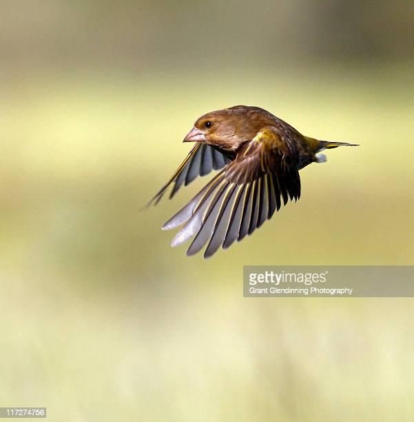 Greenfinch (Carduelis chloris), bird in flight