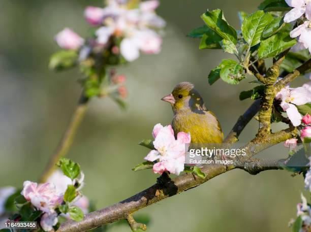 Greenfinch Carduelis chloris amongst apple blossom Kent May