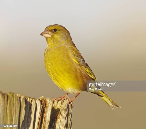 greenfinch [chloris chloris] - songbird stock pictures, royalty-free photos & images