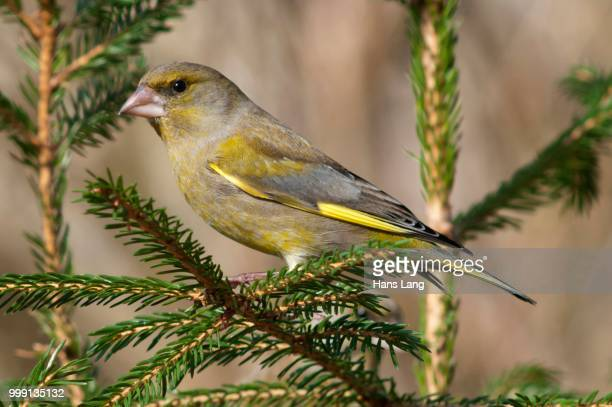 greenfinch (carduelis chloris), male perched on spruce, untergroeningen, baden-wuerttemberg, germany - vista lateral stock pictures, royalty-free photos & images