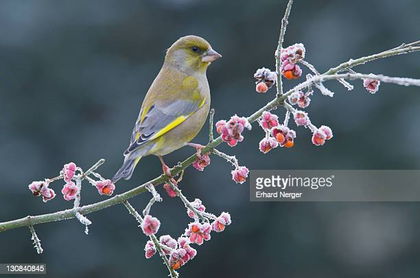 greenfinch (carduelis chloris) - vista lateral stock pictures, royalty-free photos & images