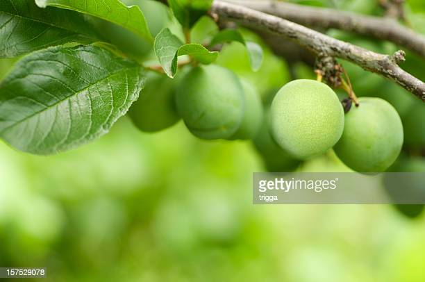 Greengage plums in the orchard