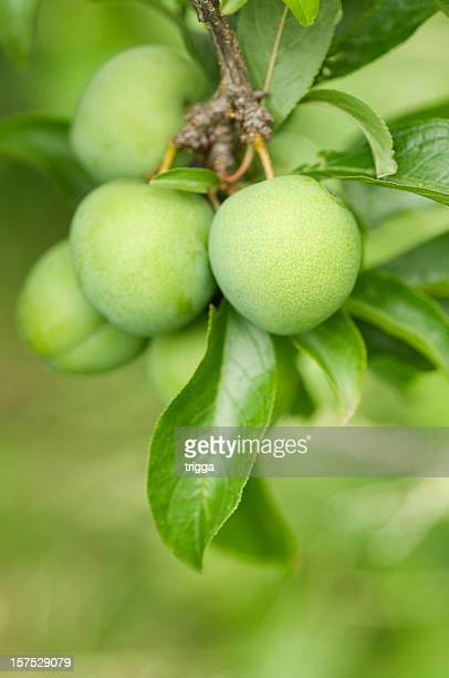 Greengage plums on the tree