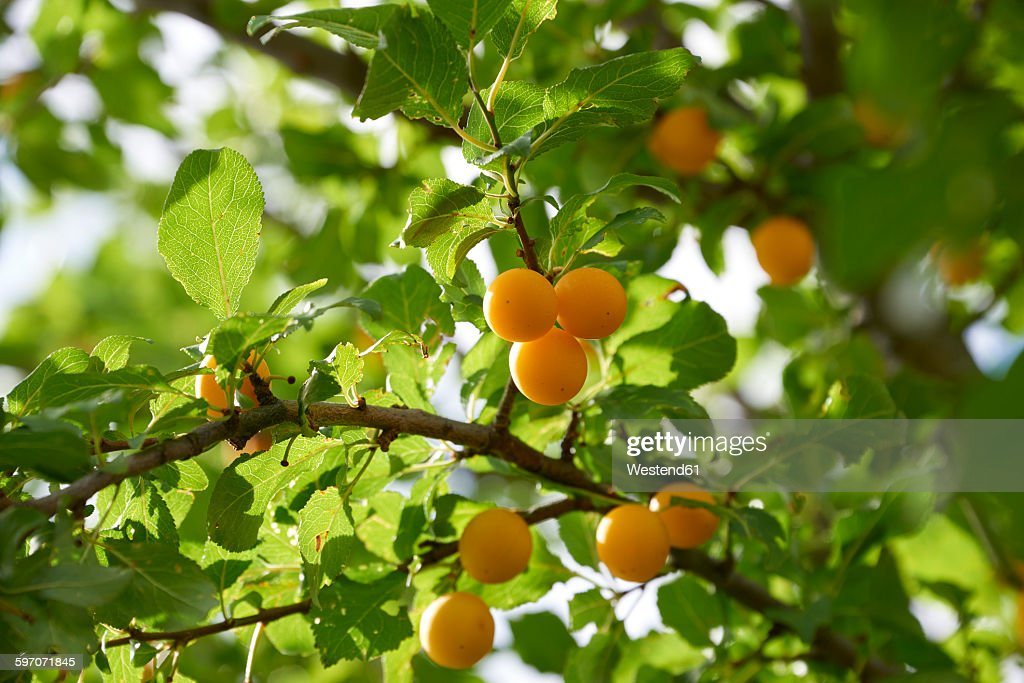 Greengages in tree : Stock Photo
