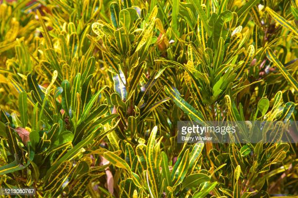 green/gold croton in davie, florida - フロリダ州 デイヴィー ストックフォトと画像