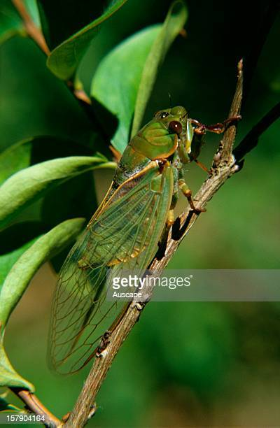 Greengrocer cicada after final ecdysis or moult adult with wings now folded tentwise Life cycle series image 18 of 18 Australia