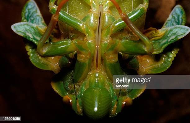 Greengrocer cicada close up during ecdysis or moult showing rostrum Life cycle series image 10 of 18 Australia