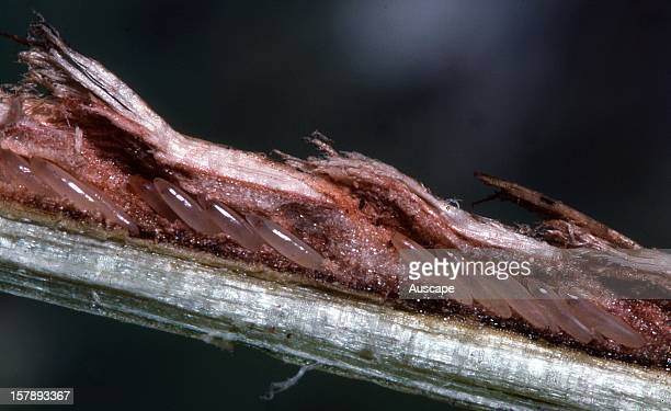Greengrocer cicada detail of eggs laid into slits cut into the bark of a Eucalypt stem Life cycle series image 4 of 18 Australia