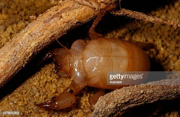 Greengrocer cicada nymph underground exposed for photography Life cycle series image 5 of 18 Australia