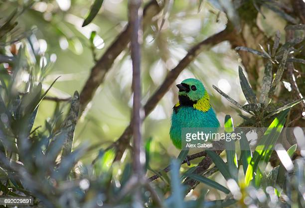 a green-headed tanager, tangara seledon, in the atlantic rainforest, ubatuba, brazil. - alex saberi bildbanksfoton och bilder